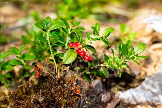 Bando de mirtilos vermelhos maduros selvagens da floresta