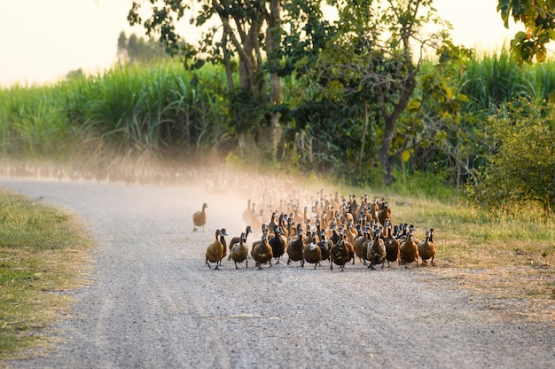 Bando de patos caminhando na estrada de terra na plantação