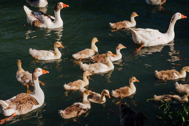Bando de patos selvagens nadando no rio. vida selvagem na primavera. família com patinhos