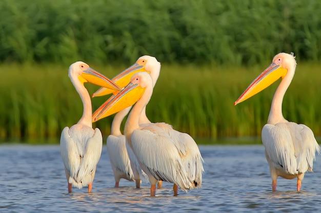 Bando de pelicanos brancos descansam na luz suave do entardecer.
