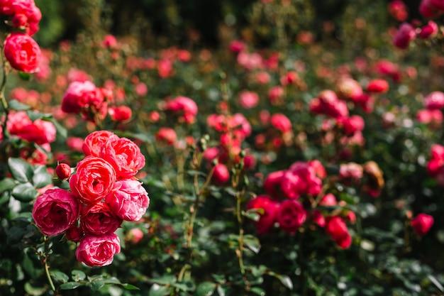 Bando de peônia rosa fresca crescendo no jardim