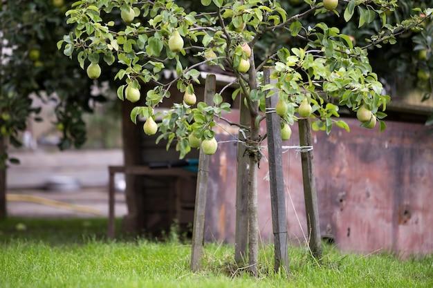 Bando de peras verdes lindas penduradas amadurecendo no galho de árvore