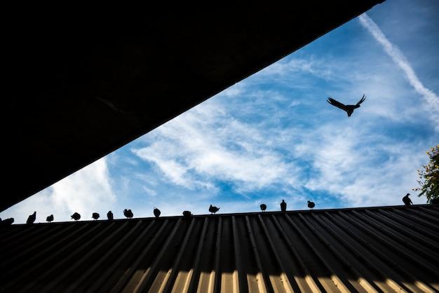 Bando de pombo no telhado