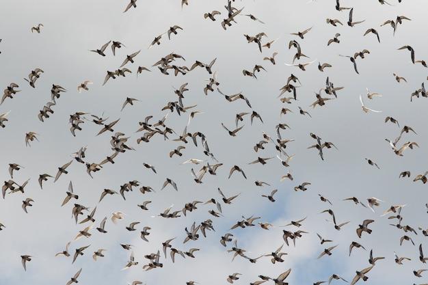 Bando de pombos-correio voando contra céu nublado