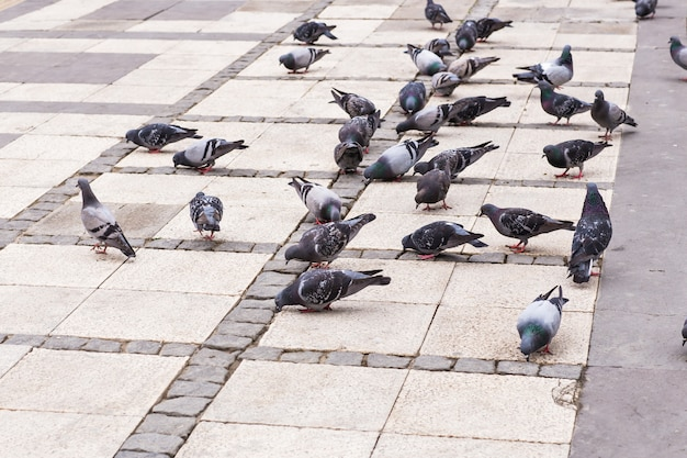 Bando de pombos
