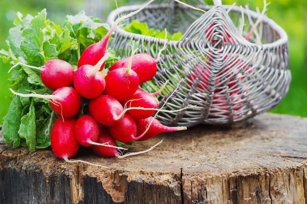 Bando de rabanete vermelho fresco do jardim em uma cesta no tronco