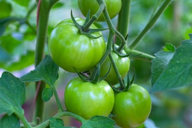 Bando de tomate verde verde orgânico em uma estufa. conceito caseiro, jardinagem e agricultura. produção de alimentos orgânicos vegetais naturais, luz de fundo