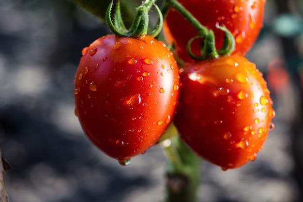 Bando de tomate vermelho cereja natural maduro na água cai crescendo em uma estufa pronta para escolher