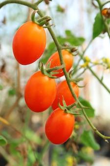 Bando de tomates vermelhos de uva vibrante amadurecendo na sua árvore