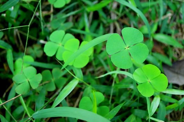 Bando de trevos de quatro folhas verdes vibrantes no campo de grama