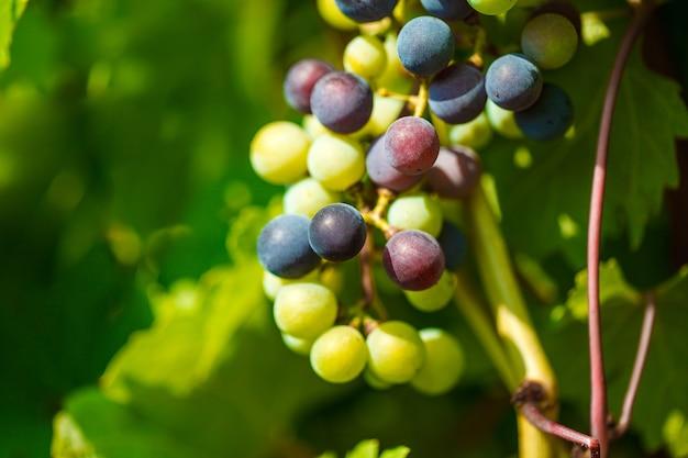 Bando de uvas entre as folhas amadurece na plantação, efeito bokeh.
