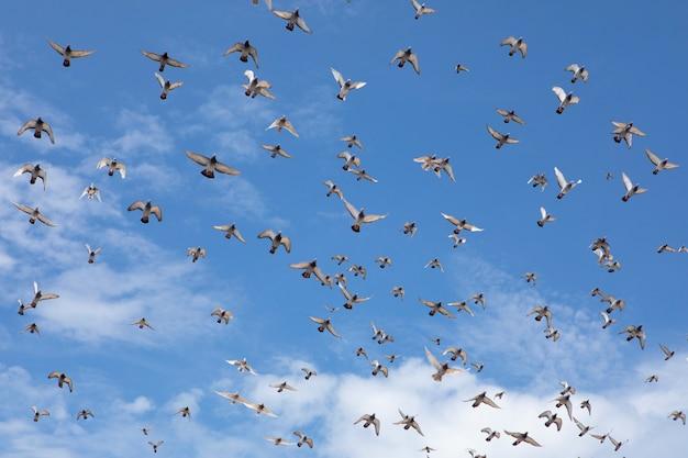 Bando de velocidade corrida de pombo voando contra o lindo céu azul claro