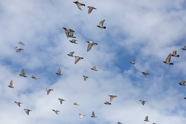Bando de velocidade corrida pombo pássaro voando contra o céu nublado
