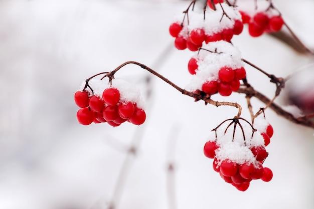 Bando de viburnum vermelho coberto de neve em um fundo claro