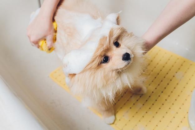 Banhando o cachorro no cabeleireiro de cães da pomerânia.