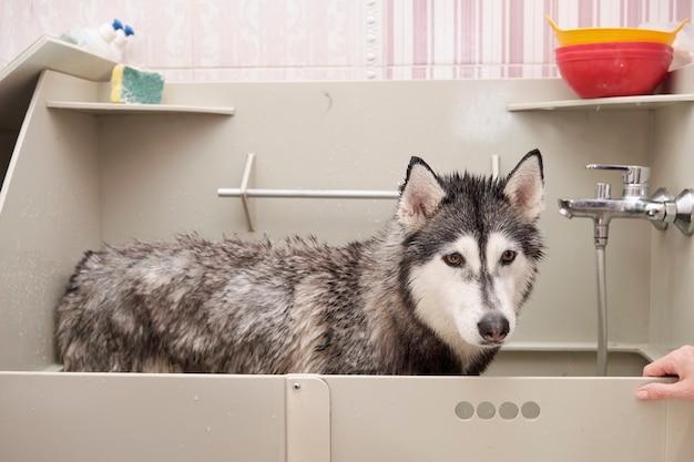 Banhando o husky siberiano em um banho especial de higiene.