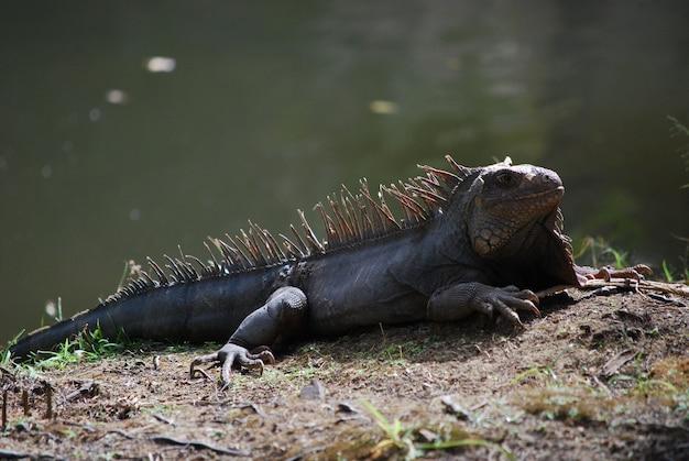 Banho de sol iguana se aquecendo ao sol ao lado de um corpo de água.