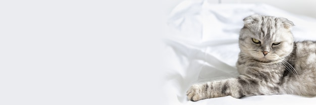 Banner com um lindo gato de raça pura que o gato scottish fold deita de costas e mostra a barriga fofa