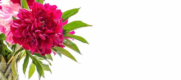 Banner de férias com bela peônia rosa magenta brilhante em fundo branco com espaço de cópia. cartão floral festivo ou convite para o dia das mães ou feriado da mulher.