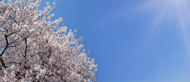 Banner de primavera com flores de cerejeira em flor cheia contra o céu azul.