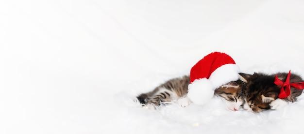 Banner, dois adoráveis gatinhos de natal tricolor com chapéu de papai noel vermelho ou boné e arco, dormir com os olhos fechados e deitados no cobertor branco. foto de um gatinho dormindo relaxado e dormindo juntos