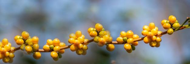 Banner panorâmica amarelo café feijão baga planta crescimento de árvore de café semente fresca na fazenda orgânica eco bourbon amarelo. bagas de sementes maduras de panorama amarelo colhem café arábica jardim com espaço de cópia vazio