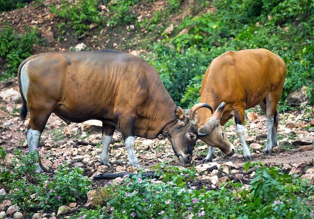Banteng (bos javanicus) ou touro do sudeste asiático, touro vermelho na floresta tropical da tailândia.