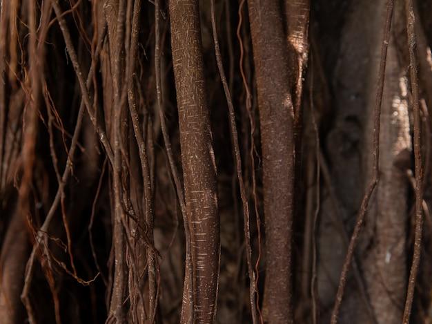 Banyan é uma árvore com um ramo, com o chão enraizado no chão.