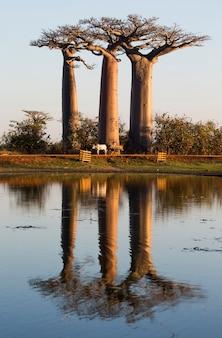 Baobás ao nascer do sol perto da água com reflexo em madagascar
