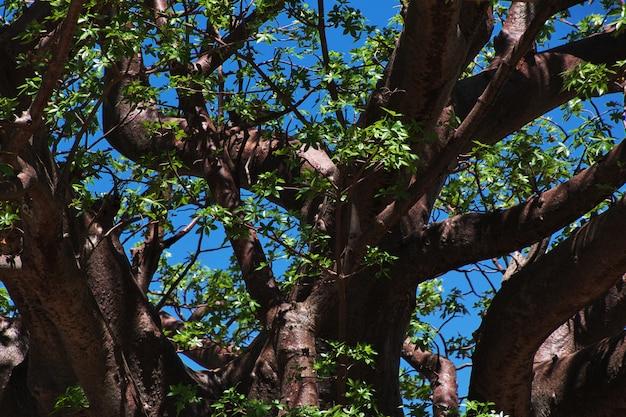 Baobás na aldeia de bosquímanos, áfrica