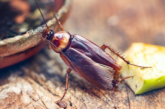 Barata com bigodes longos ou close-up de inseto inseto besouro. cabeça de grieg com olhos