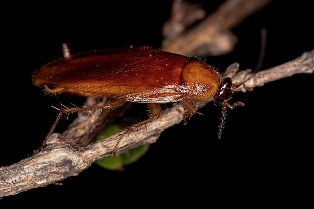 Barata de madeira adulta da família ectobiidae