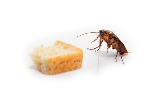 Barata é disseminação de contágio, barata encontrando comida