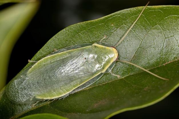 Barata gigante verde do gênero panchlora