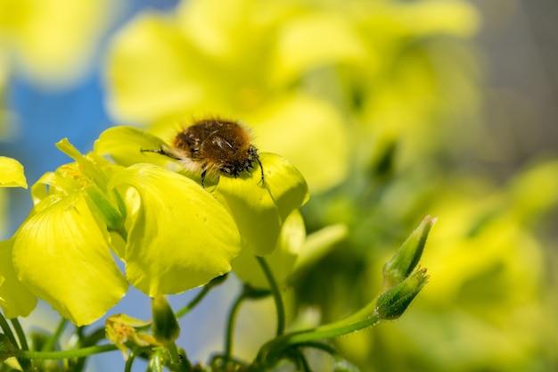 Barbary beetle de pêlo amarelo coletando pólen de flores amarelas de azedinha