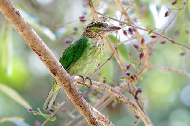 Barbet de orelhas verdes megalaima faiostricta belos pássaros da tailândia