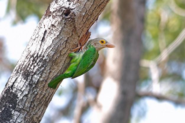 Barbet lineated megalaima lineata belas aves da tailândia empoleirar-se na árvore