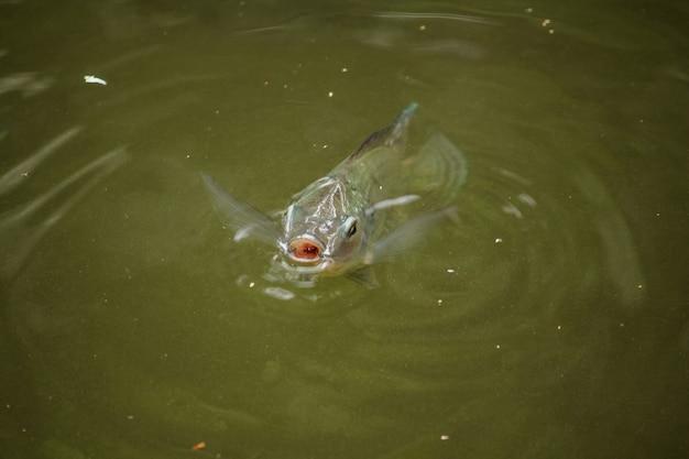 Barbonymus gonionotus está na superfície da água para respirar o ar