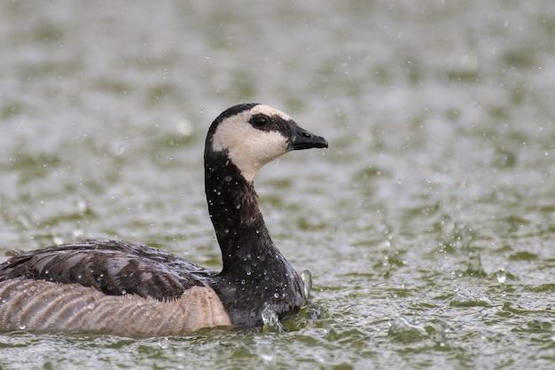 Barnacle goose nada no lago sob forte chuva. branta leucopsis.