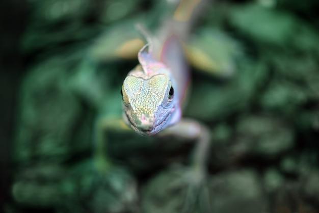 Basilisco verde ou lagarto jesus cristo no zoológico terrário