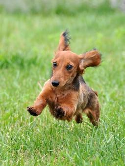 Bassê cachorro correndo ao ar livre na grama verde