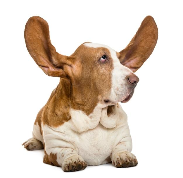Basset hound deitado com as orelhas para cima e olhando rigth isolado no branco
