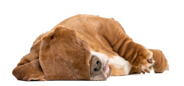 Basset hound deitado e dormindo com as orelhas, escondendo os olhos isolados no branco