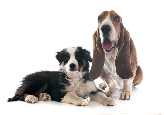 Basset hound e border collie