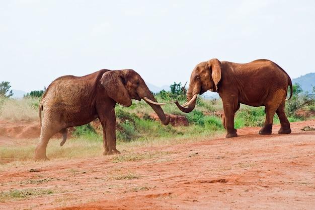Batalha de elefantes