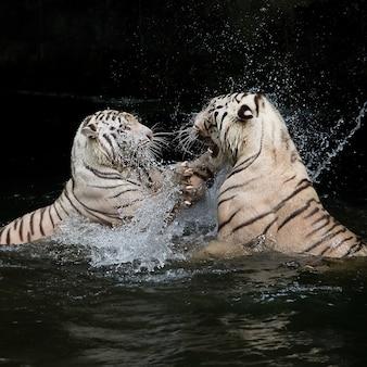 Batalha do tigre branco na água.