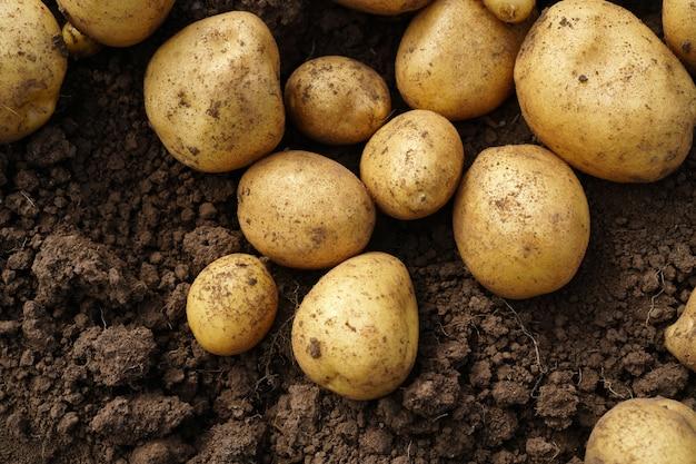 Batata fresca, deitado no chão, boa colheita e alimentos orgânicos.