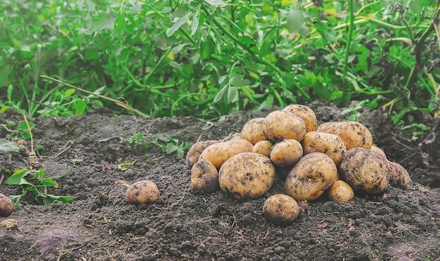 Batatas caseiras orgânicas da colheita dos vegetais. foco seletivo.
