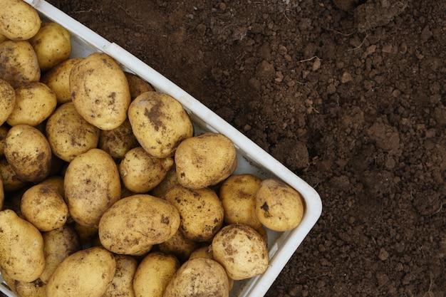 Batatas cruas recém-colhidas em uma caixa de plástico
