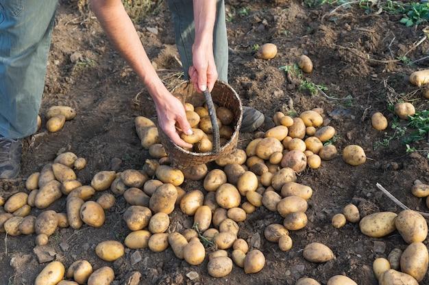Batatas frescas da terra. homem coletando batatas. agricultura.